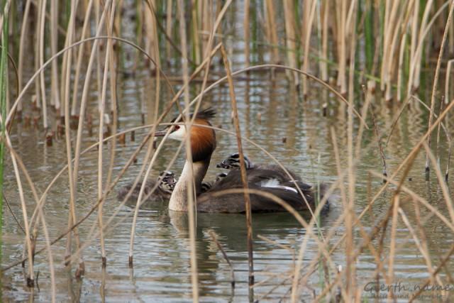 Haubentaucher mit Küken am Riemer See