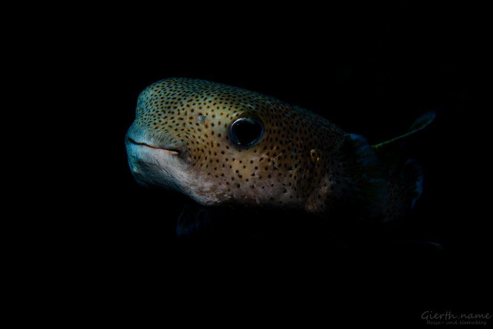 Igelfisch, Hausriff