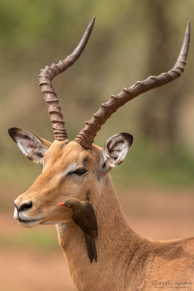 Impala, Rotschnabelmadenhacker - Red-billed oxpecker - Buphagus erythrorhynchus
