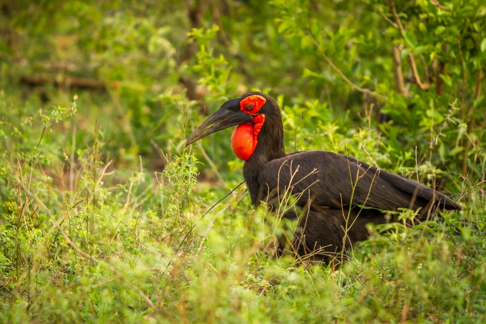 Kaffernhornrabe - Southern ground hornbill - Bucorvus leadbeateri