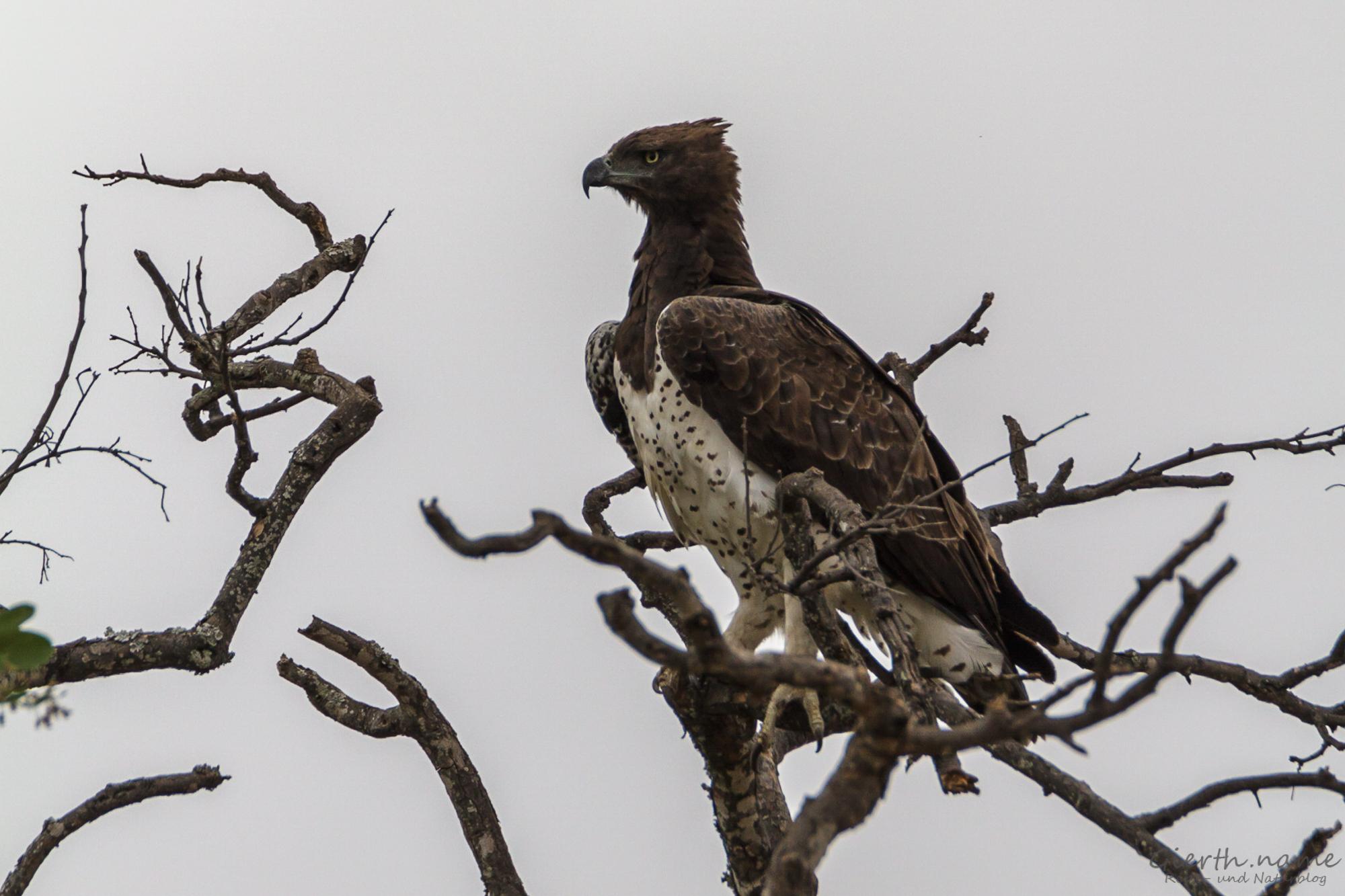 Kampfadler - Martial eagle - Polemaetus bellicosus
