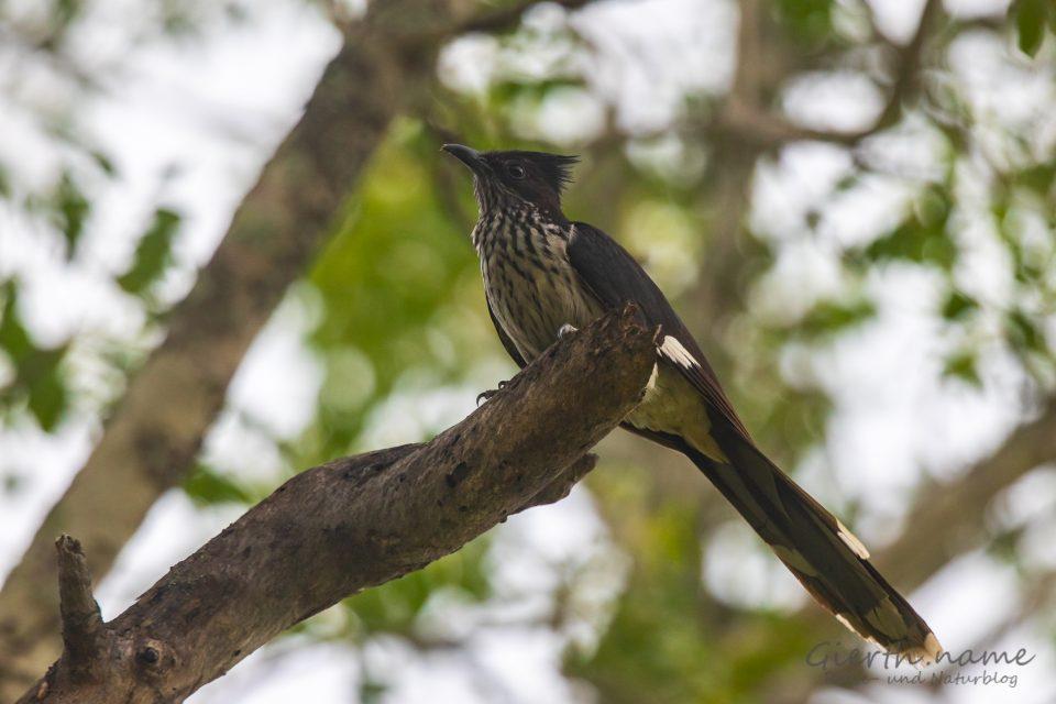 Kapkuckuck,  Levaillant's Cuckoo , Clamator levaillantii (Jule Gierth)