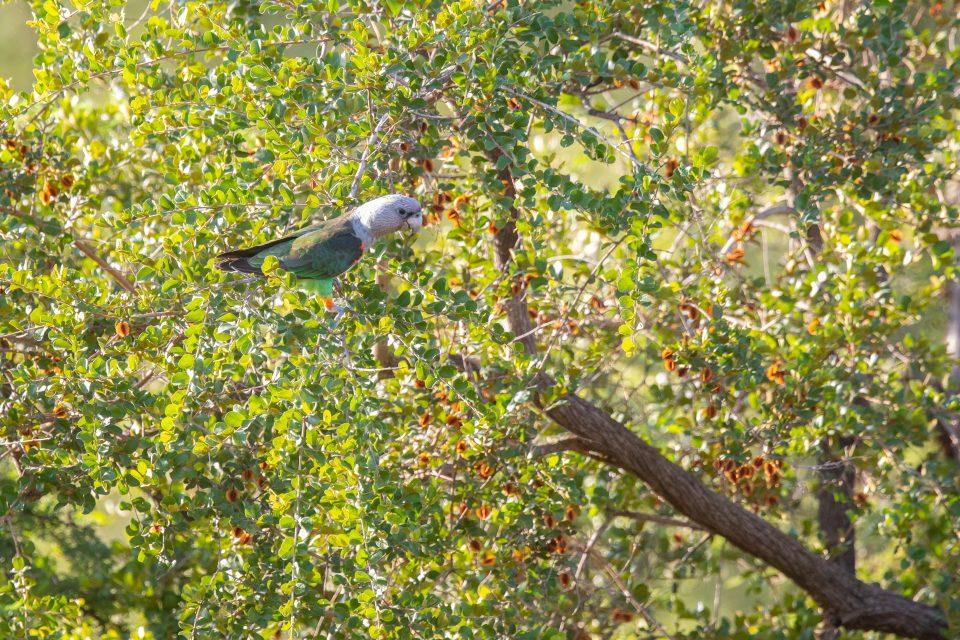 Kappapagei - Grey-headed parrot - Poicephalus robustus robustus