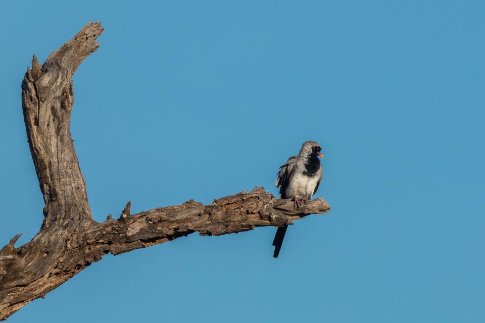 Kaptäubchen - Namaqua dove - Oena capensis capensis