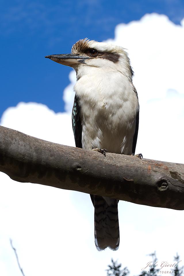 Wilder Kookaburra im Zoo