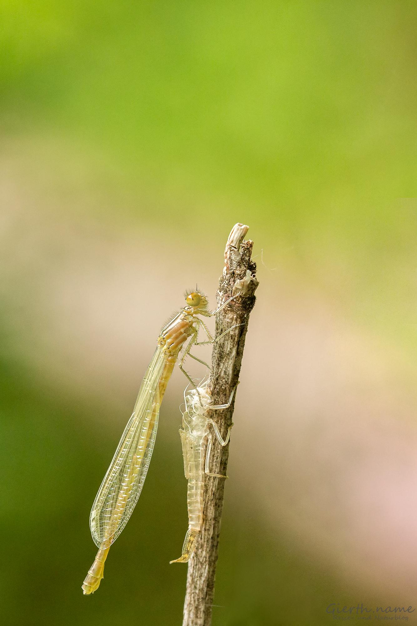 Unbestimmte Libelle, frisch geschlüpft