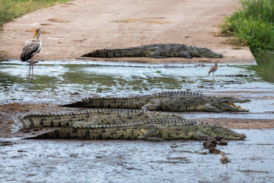 Krokodile blockieren die Strasse