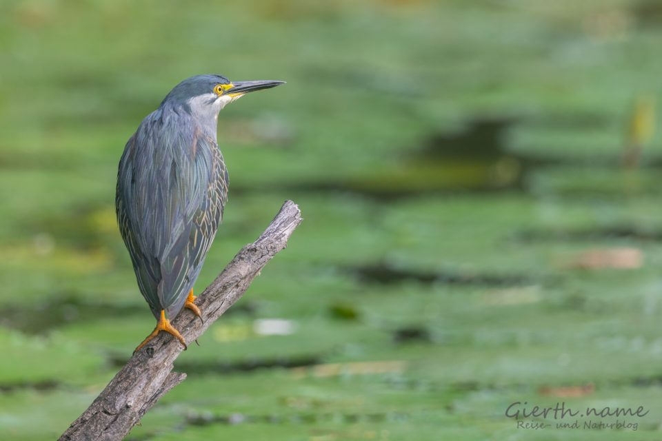 Lake Panic, Mangrovenreiher - Green-backed heron - Butorides striata atricapilla
