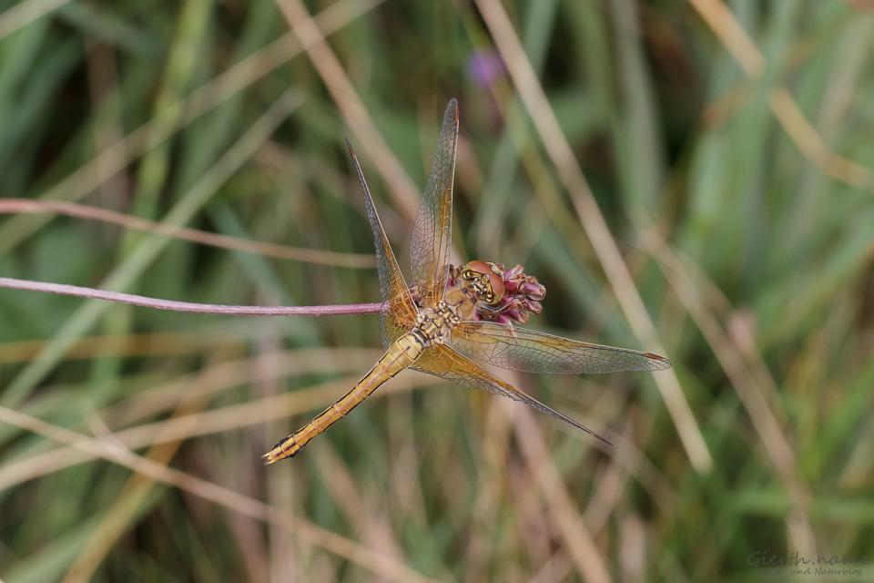 Gefleckte Heidelibelle - Sympetrum flaveolum