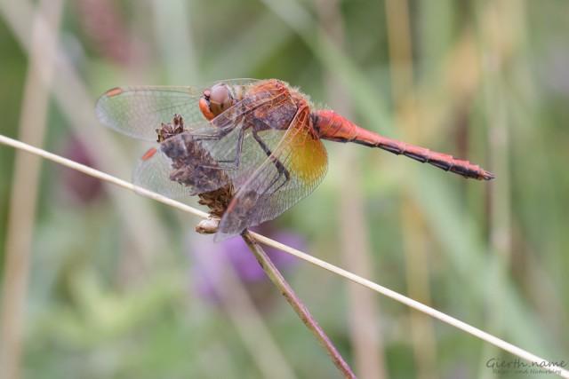 Gefleckte Heidelibelle – Libelle des Jahres 2015