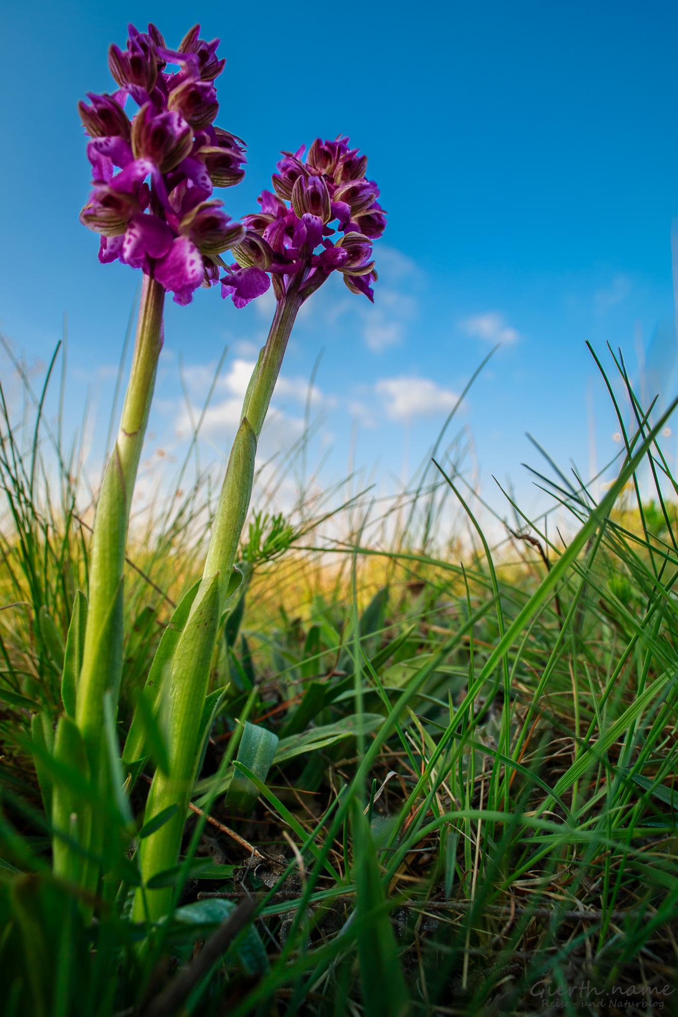 Orchideen in der Lobau