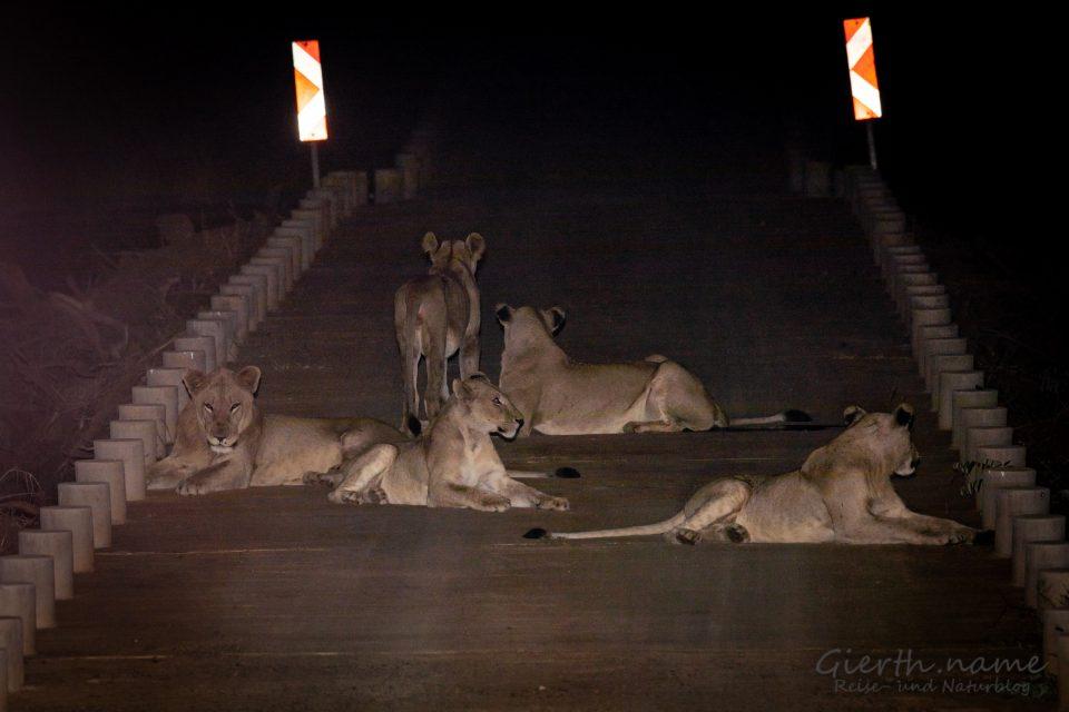 Löwen auf der Low-Level-Bridge bei Olifants