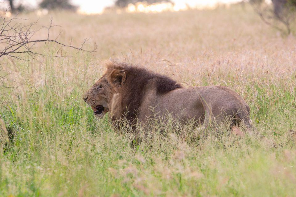 Löwen im Krüger-Park beim Satara Rest Camp (Jule Gierth)