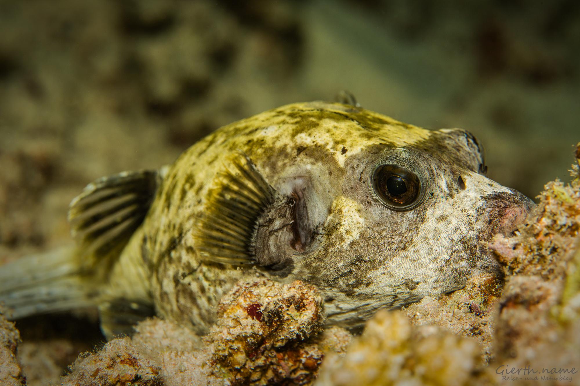 Schlafender Maskenkugelfisch