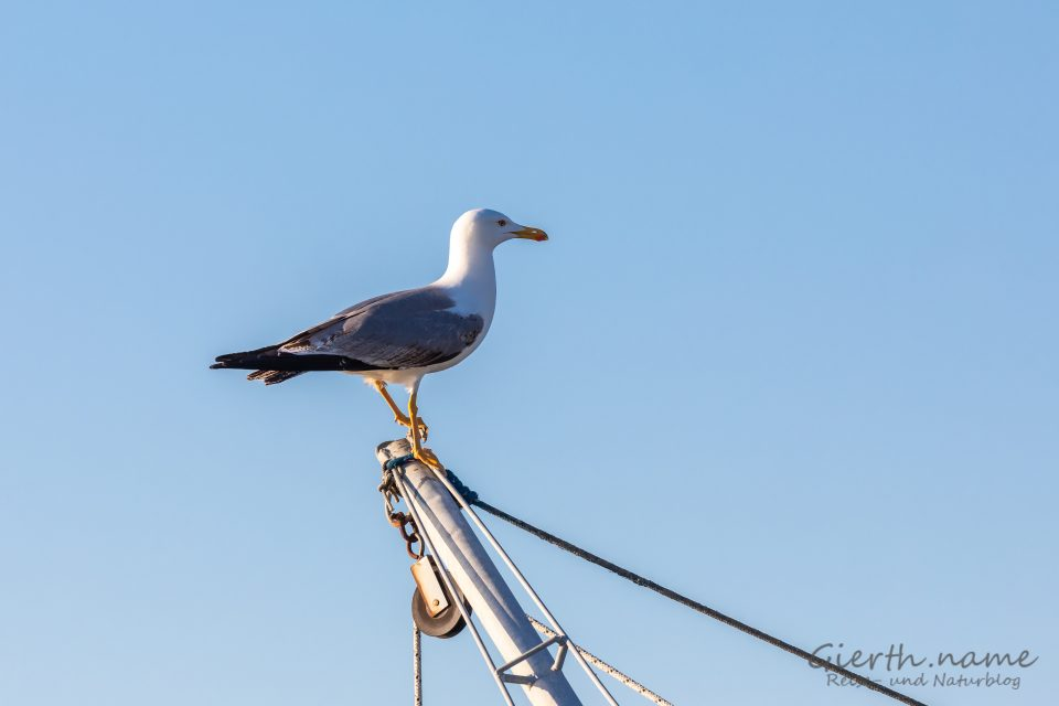 Mittelmeermöwe - Larus michahellis - Yellow-legged gull