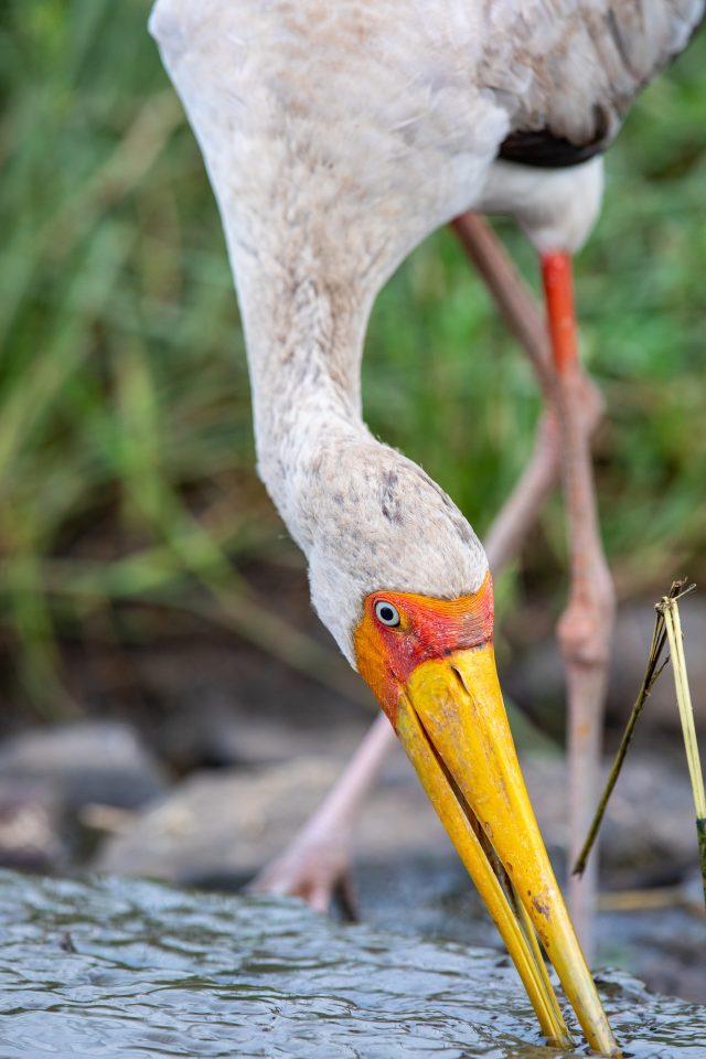Nimmersatt  - Yellow-billed Stork - Mycteria ibis