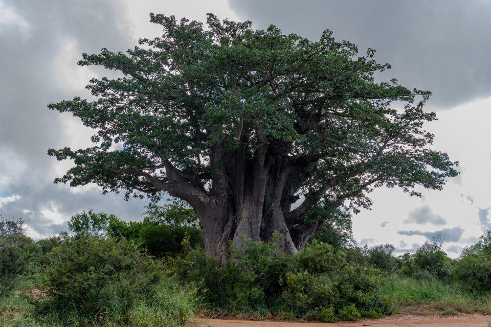 Der südlichste Baobab der Welt steht im Krüger-Park (Marcel Gierth)