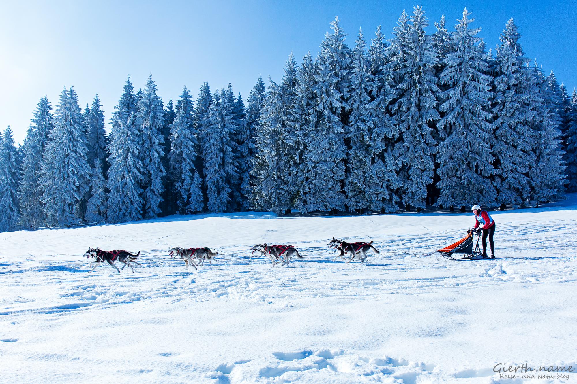 Musher 32 beim Schlittenhunderennen in Frauenwald