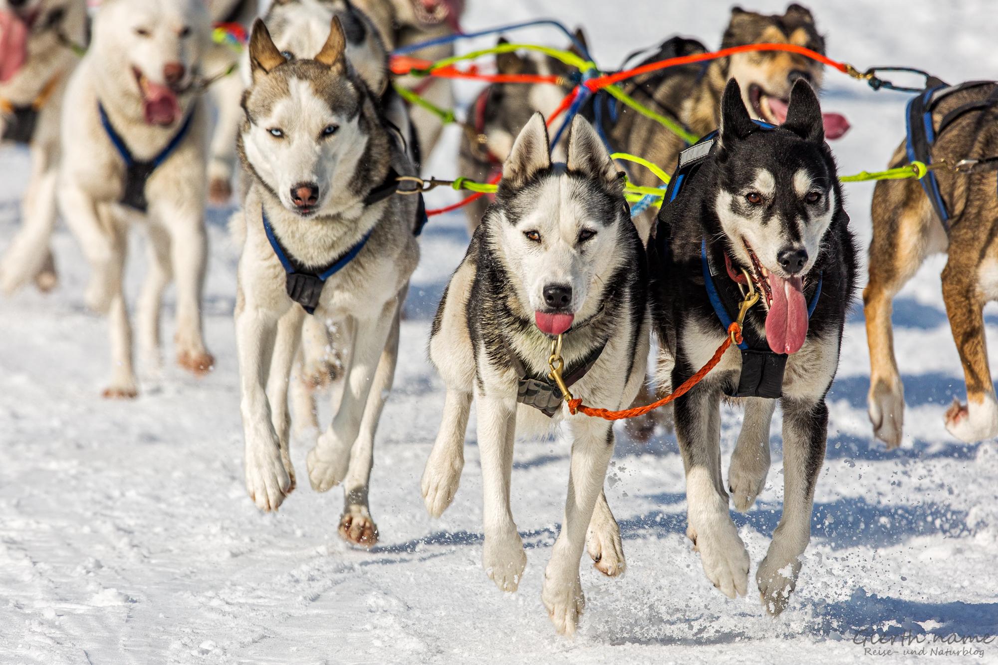 Schlittenhunde vom Gespann 39