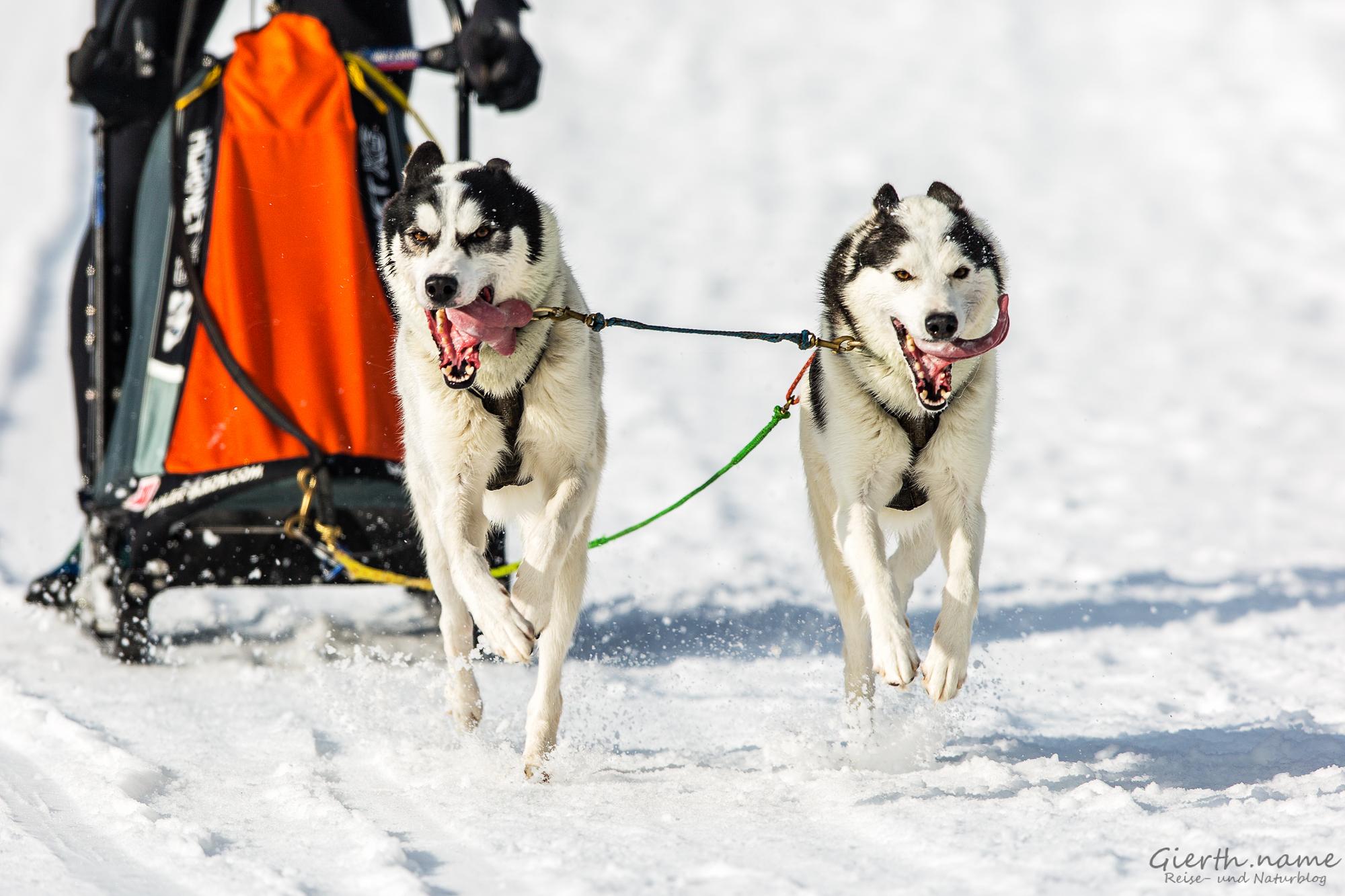 Die Hunde von Nils Havenaar mit der Nr. 70.