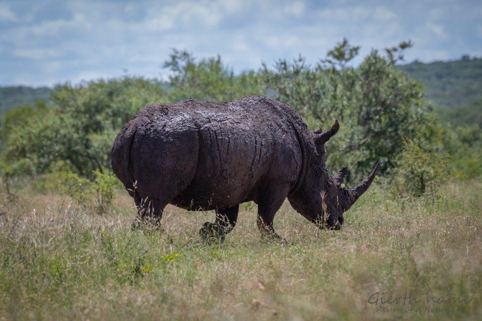 Breitmaulnashorn (Southern white rhinoceros, Ceratotherium simum) - Jule Gierth