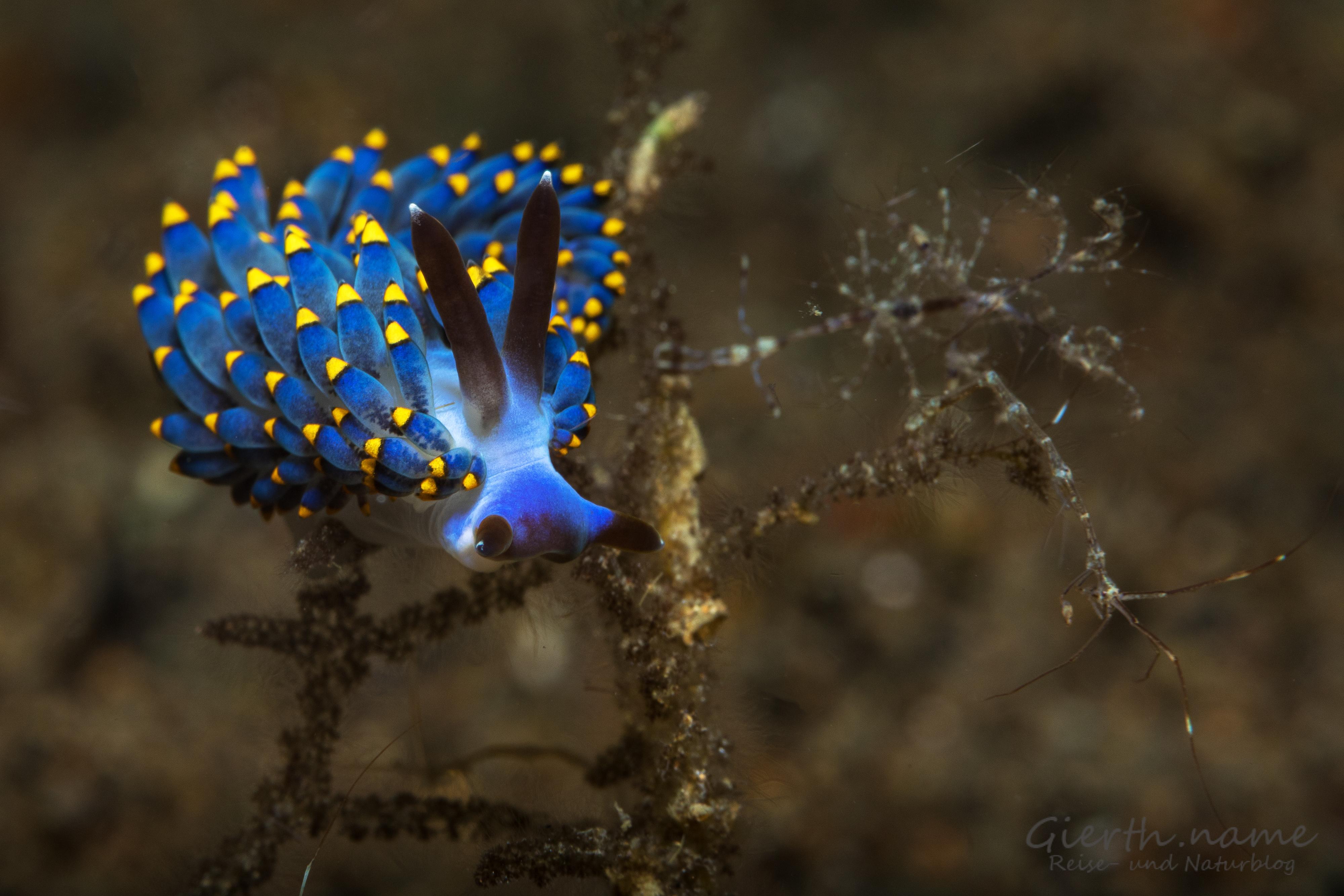 Trinchesia yamasui Nacktschnecke und ein Skeleton Shrimp