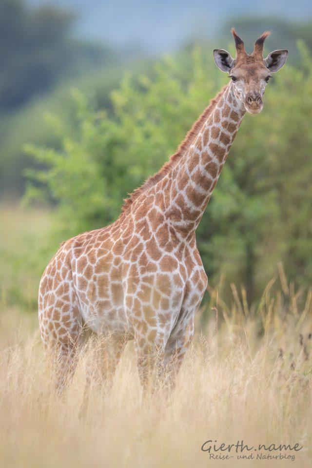 Giraffe im Nylsvley Reserve