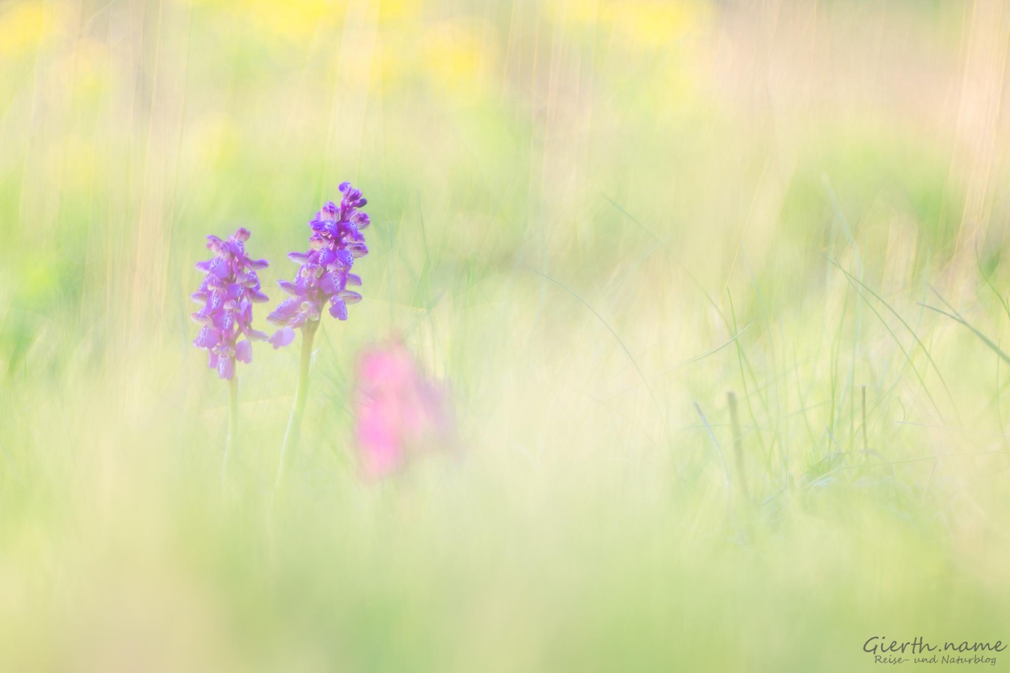 Orchideen in der Lobau, aufgenommen mit dem Trioplan 100