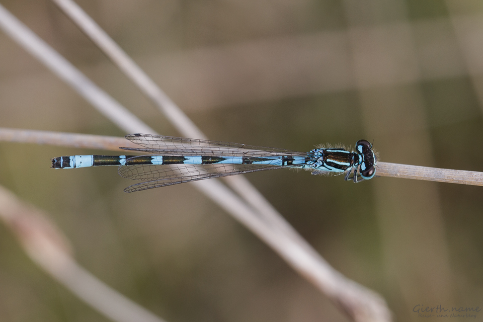 Vogel-Azurjungfer (Coenagrion ornatum)