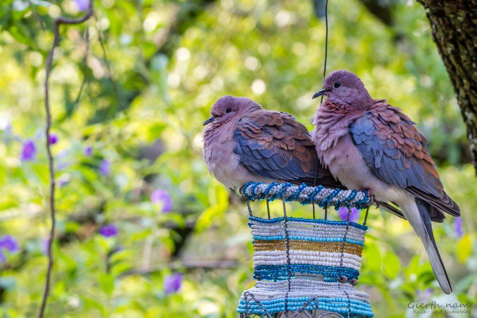 Palmtaube - Laughing dove - Spilopelia senegalensis