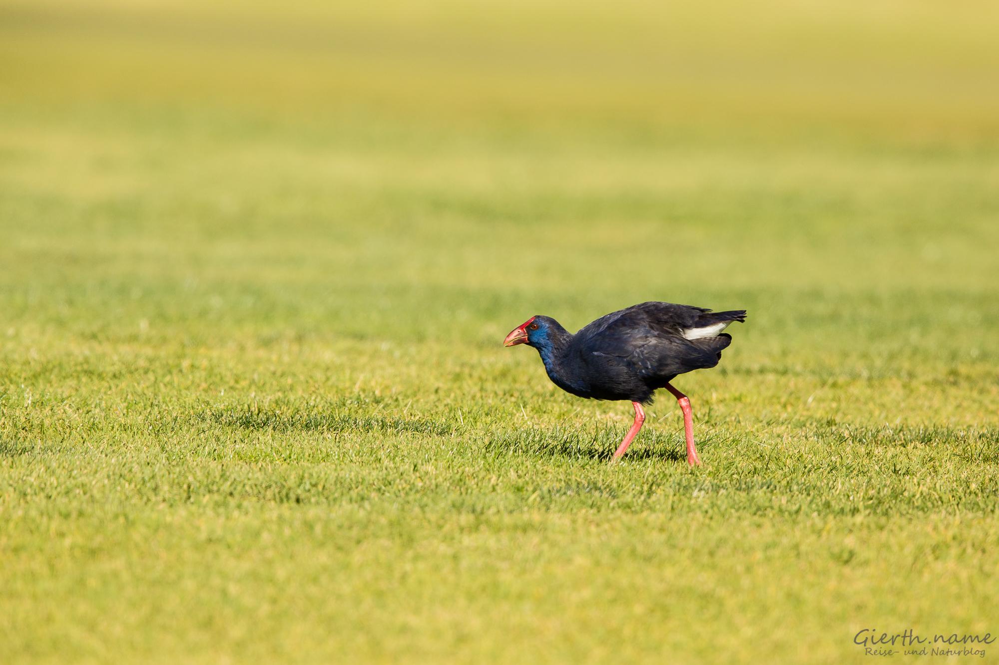 Portugiesische Vögel in Bildern