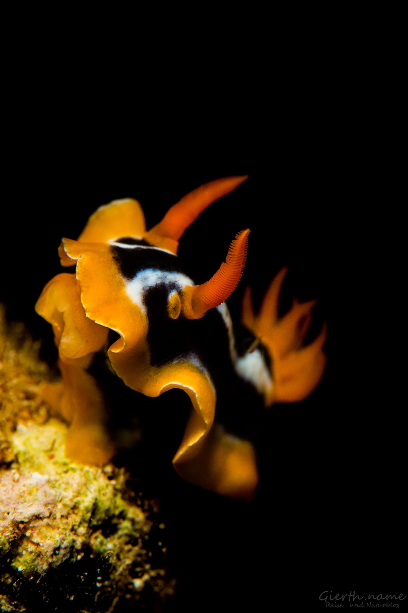 Pyjama Chromodoris