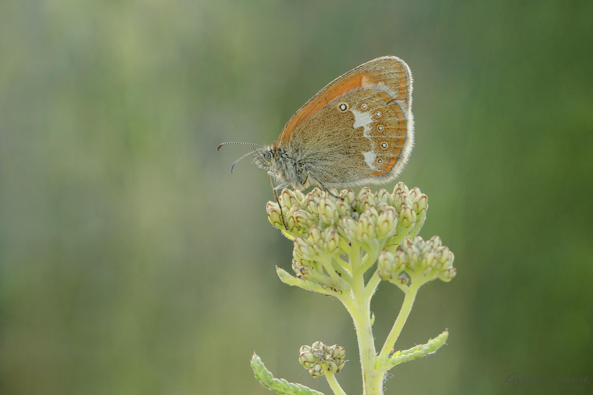 Rotbraunes Wiesenvögelchen - Coenonympha glycerion