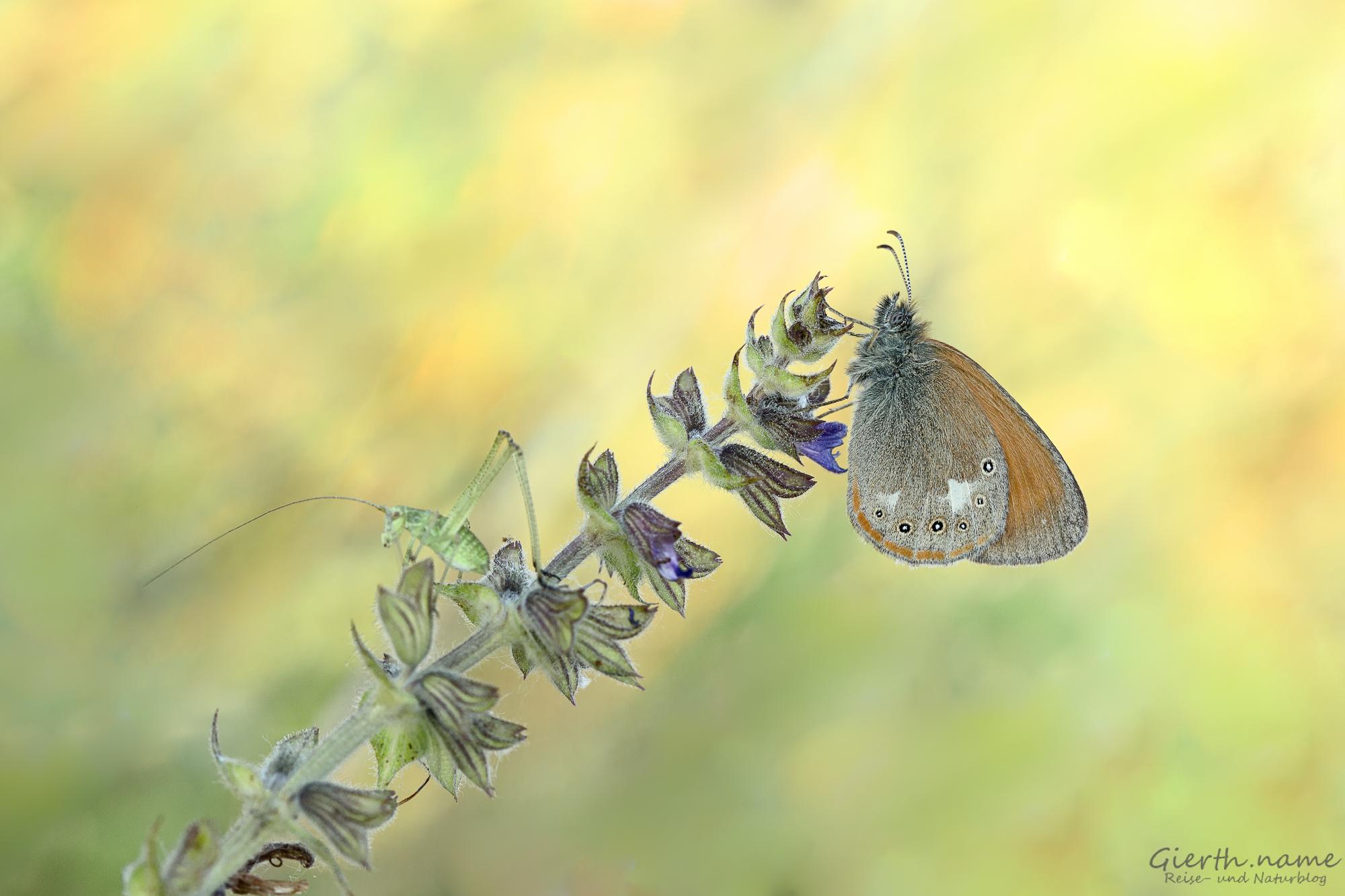 Makrotour auf der Schmetterlingswiese am Freisinger Buckl