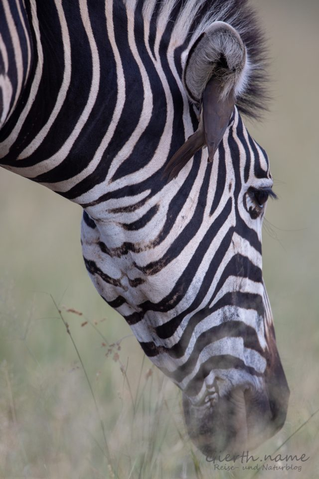 Rotschnabelmadenhacker -(Red-billed oxpecker - Buphagus erythrorhynchus) im Zebra-Ohr (Marcel Gierth)
