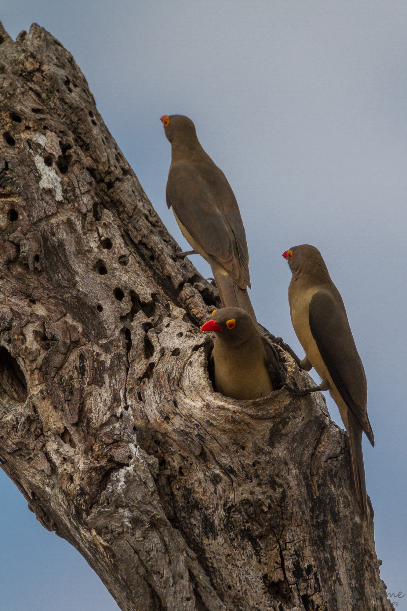 Rotschnabelmadenhacker - Red-billed oxpecker - Buphagus erythrorhynchus