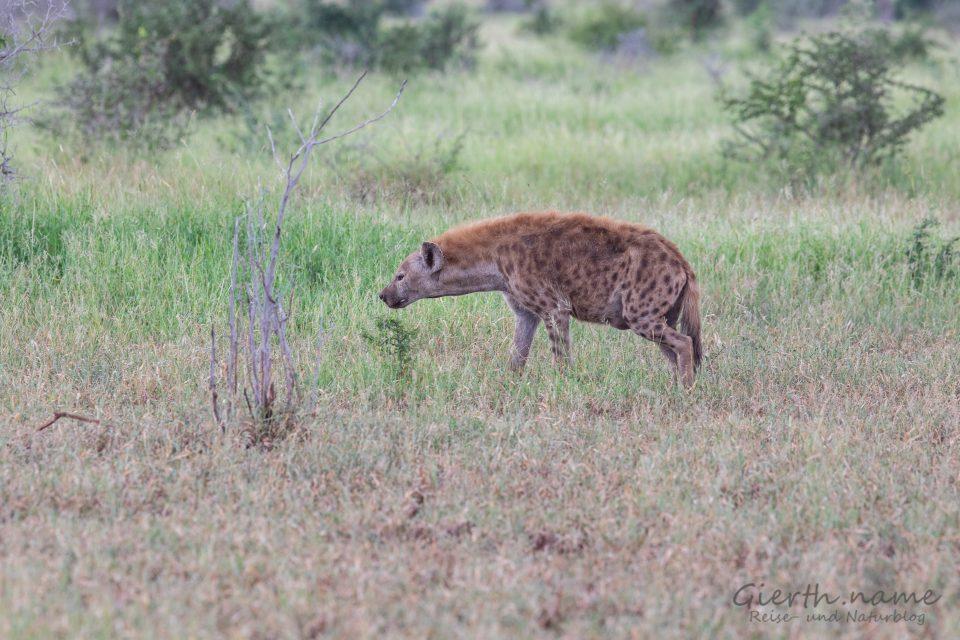 Hyäne neben der Straße, Krüger-Park (Jule Gierth)
