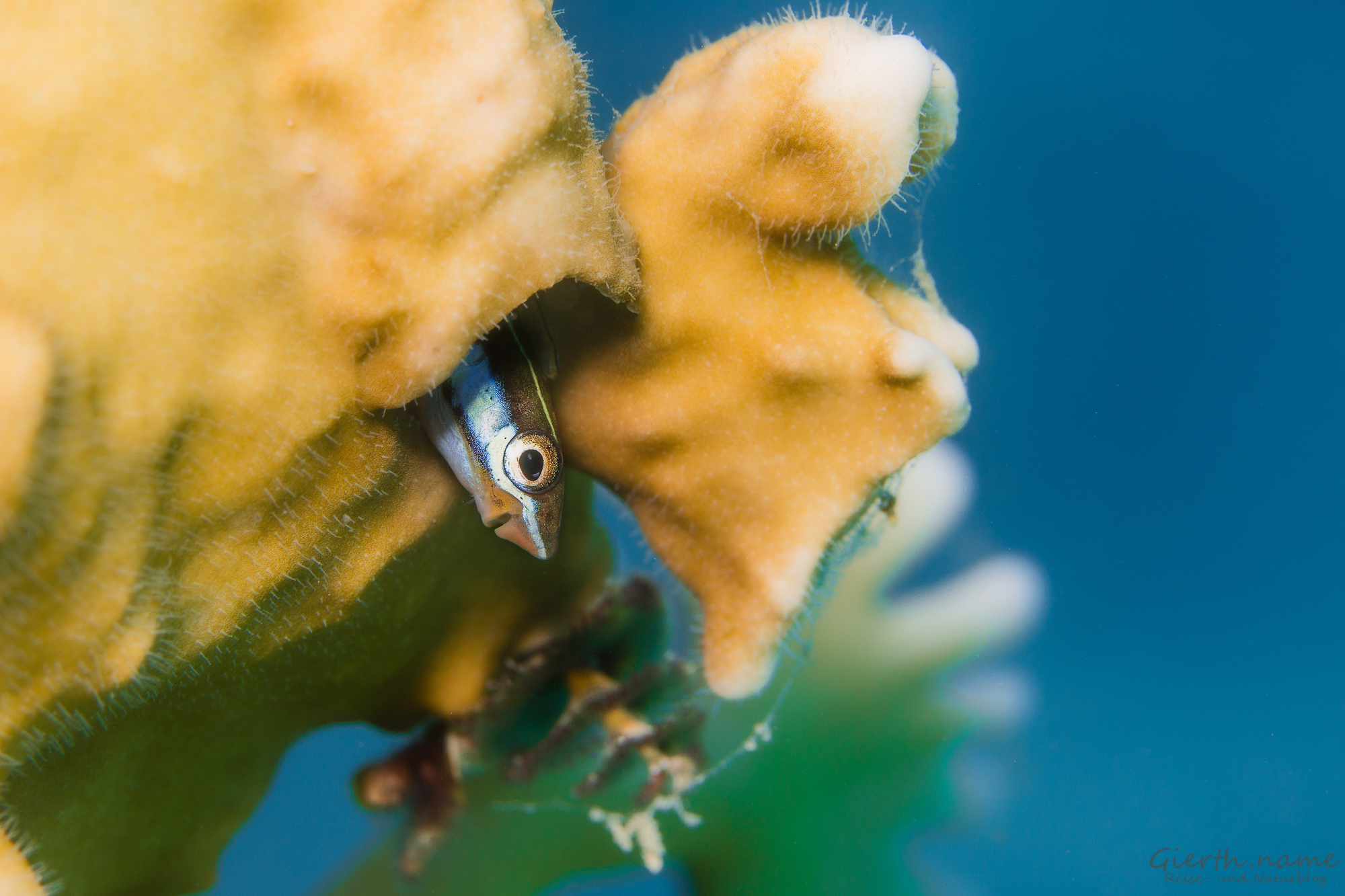 Blaustreifen-Säbelzähner - Plagiotremus rhinorhynchos - Bluestriped Fangblenny