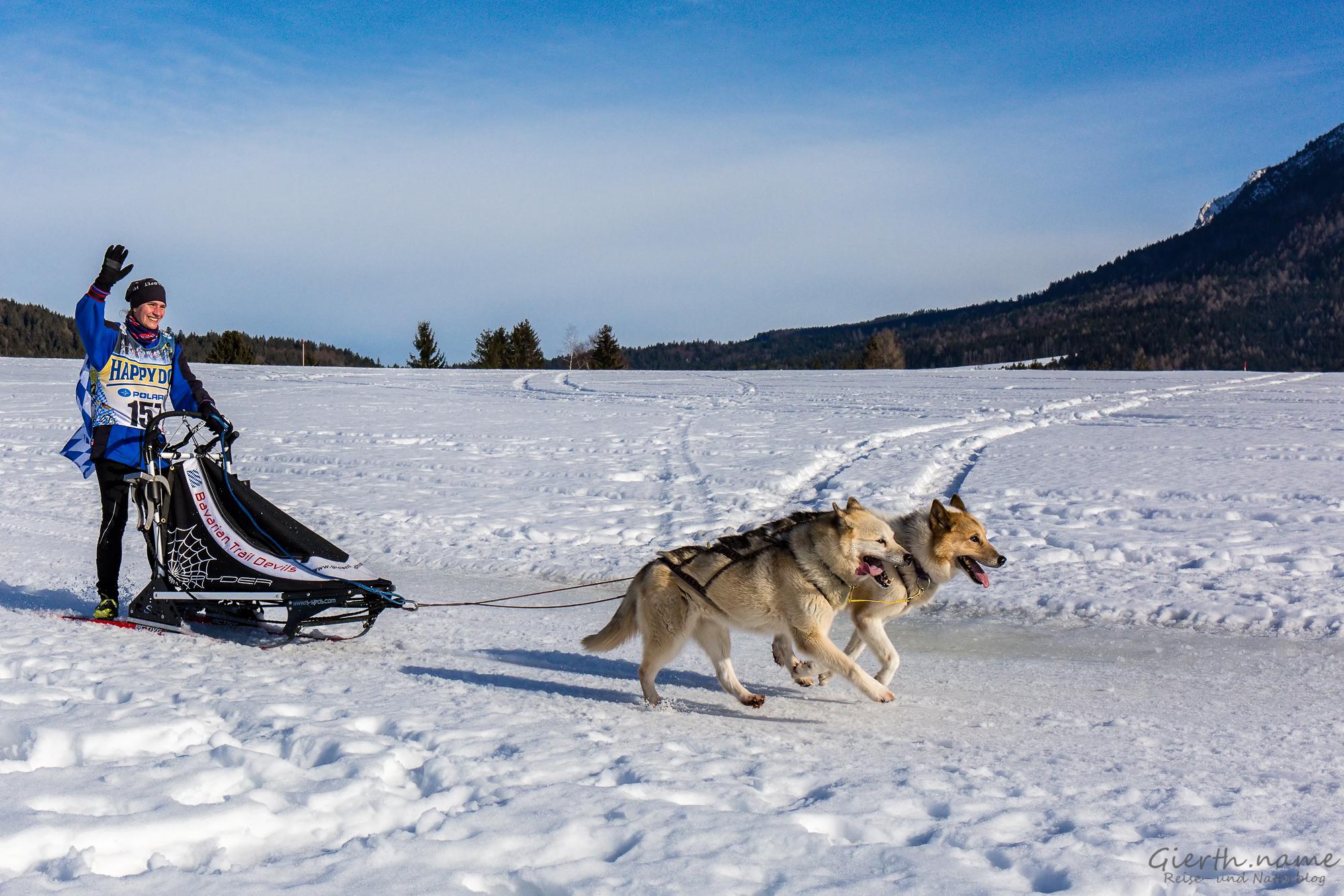Schlittenhunderennen in Inzell, Musherin mit der Nr. 157