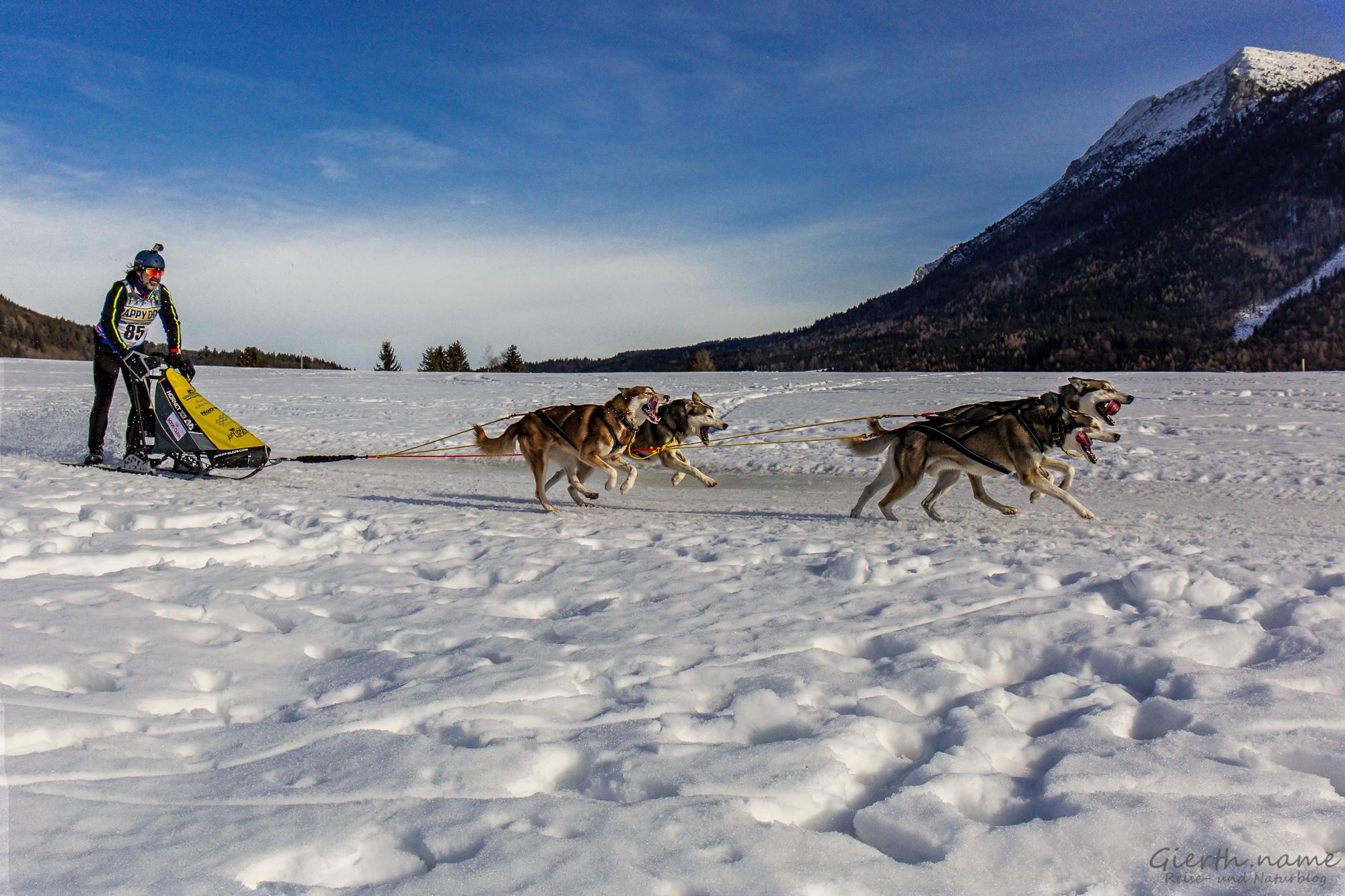 Schlittenhunderennen in Inzell, Musher mit der Nr. 85