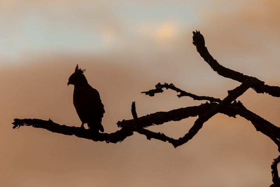 Schopfadler - long crested eagle - Lophaetus occipitalis im Krüger-Park