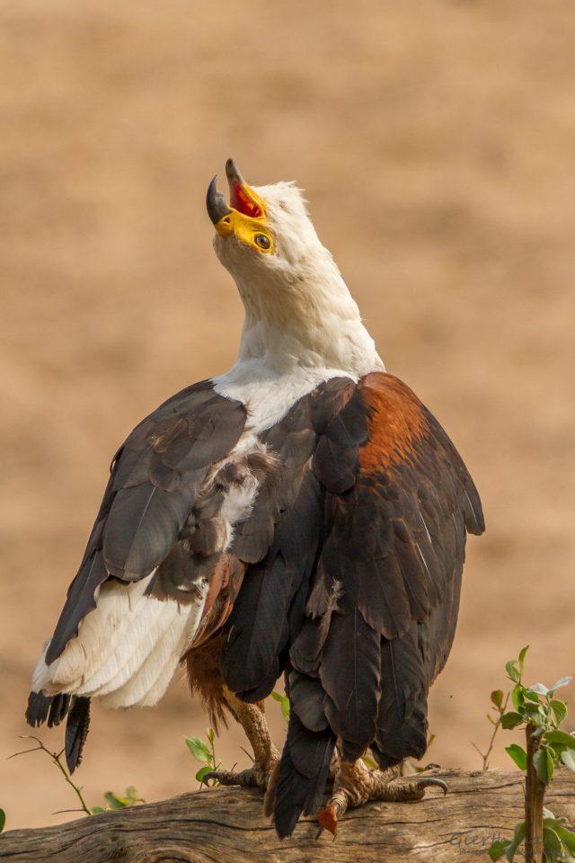 Schreiseeadler (African fish eagle - Haliaeetus vocifer) beim Schreien