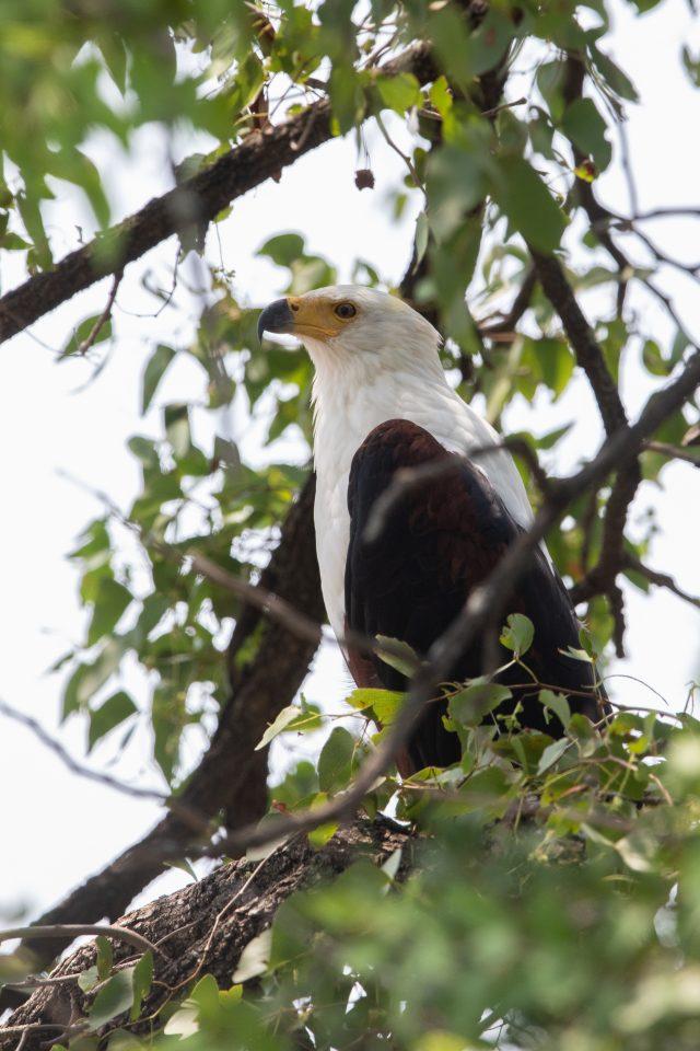 Schreiseeadler - African fish eagle - Haliaeetus vocifer