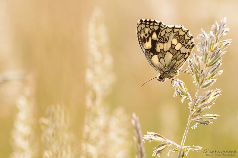 Schmetterlinge 2015 – das Jahr im Rückblick – Tagfalter Teil 1