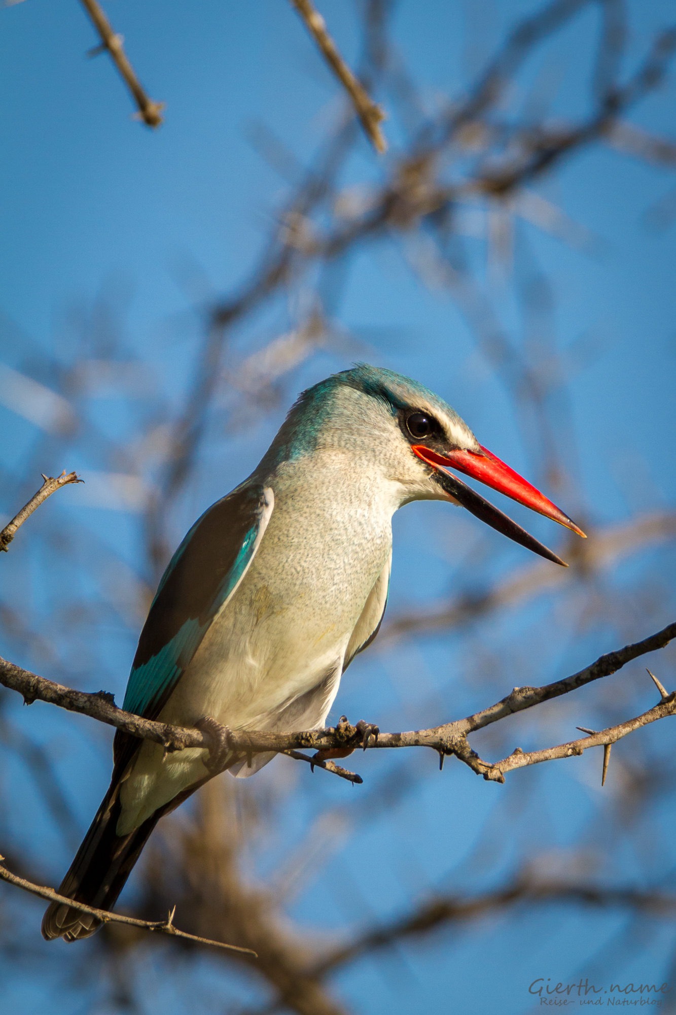 Senegalliest - Woodland kingfisher - Halcyon senegalensis