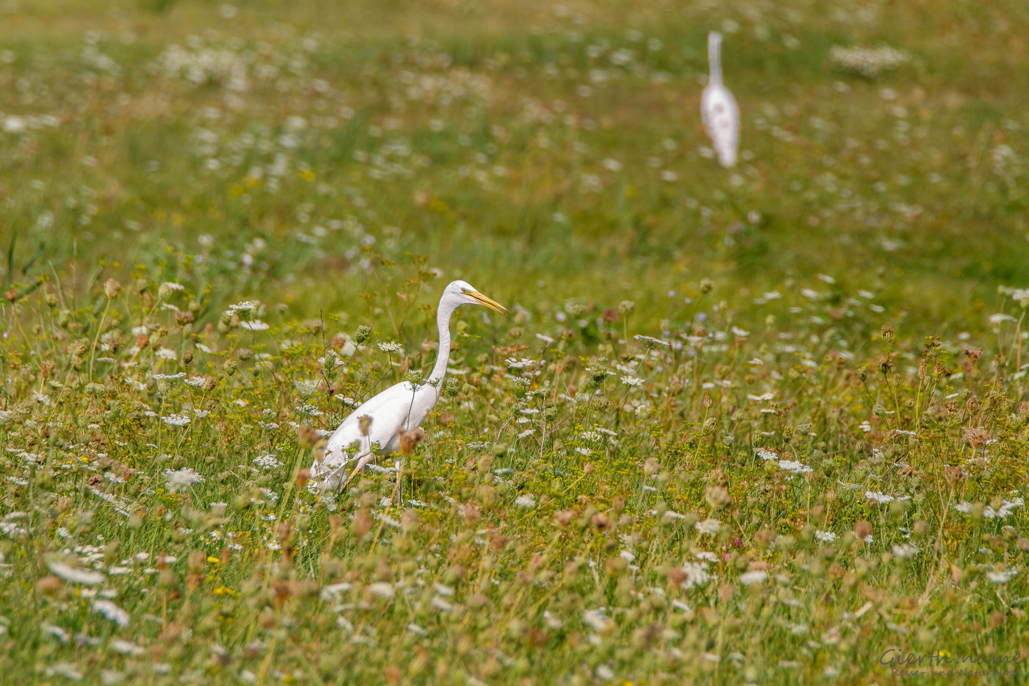 Silberreiher - Great Egret - Ardea alba