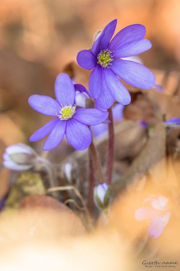 Hepatica nobilis / Anemone hepatica