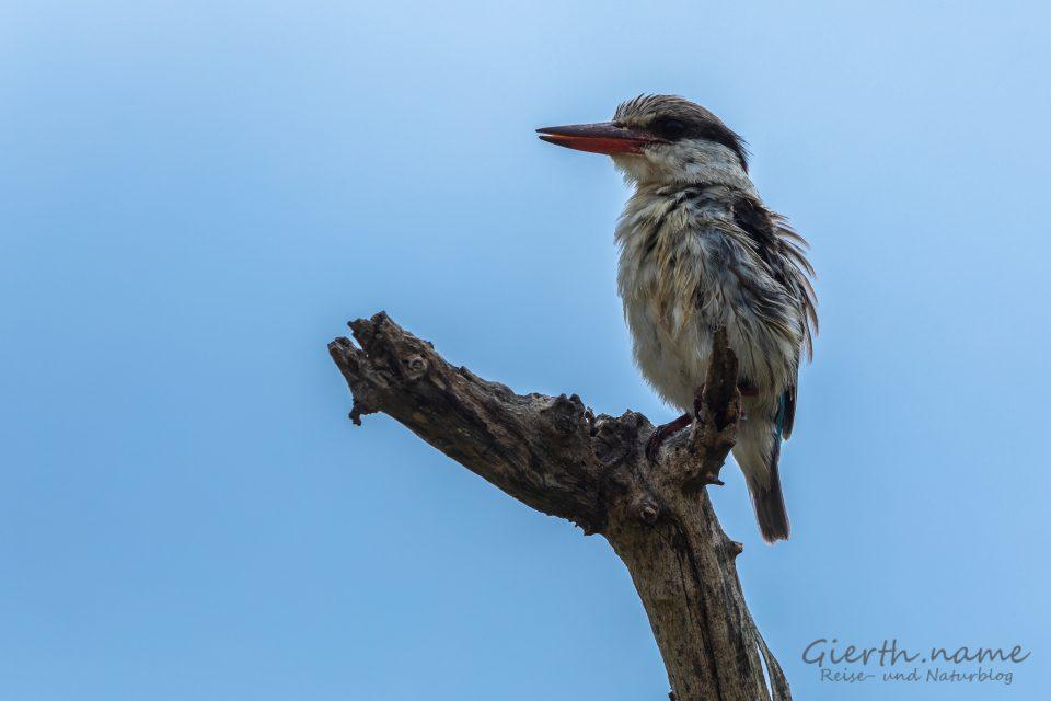 Streifenliest (Striped kingfisher, Halcyon chelicuti chelicuti)