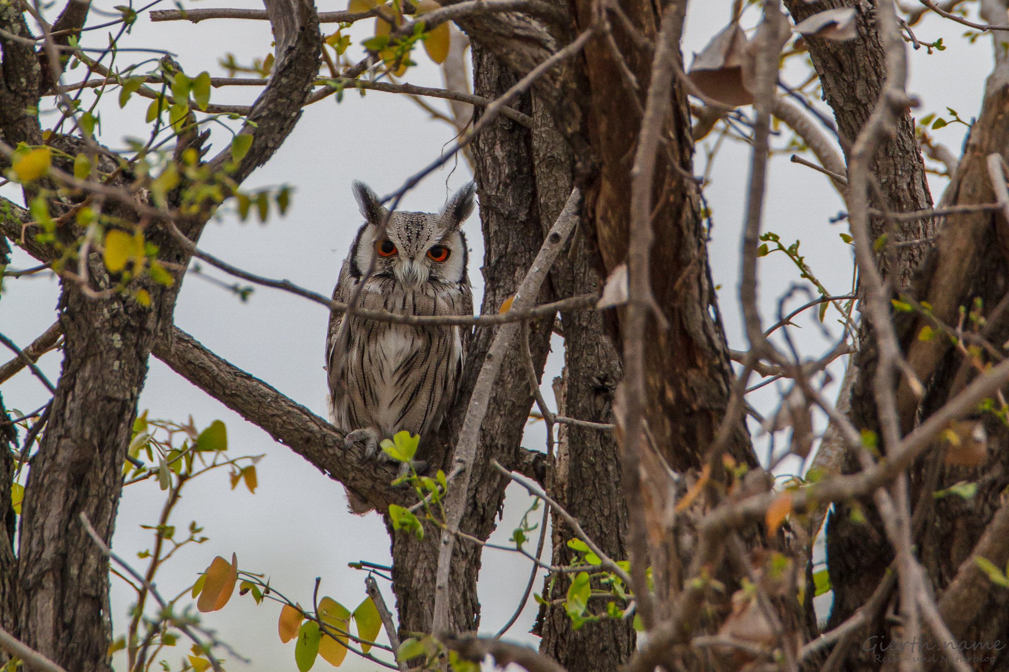 Südbüscheleule - Southern White-faced Owl - Ptilopsis granti