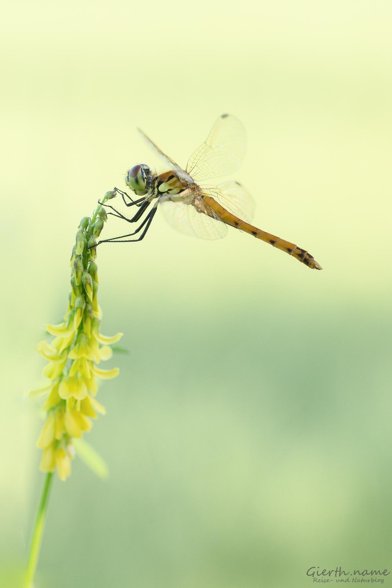 Sympetrum depressiusculum - Sumpf Heidelibelle